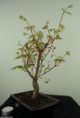 Bonsai Erable du Japon,Acer palmatumBatafurai, Butterfly, no. 7544