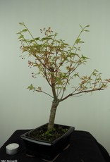 Bonsai Acer palmatum Batafurai, Butterfly, nr. 7546