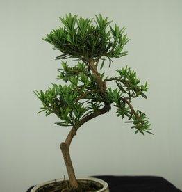 Bonsai Podocarpus, Japanse boeddha den, nr. 7560