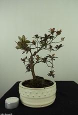 Bonsai Azalea, Rhododendron indicum, nr. 7574