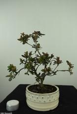 Bonsai Azalea, Rhododendron indicum, nr. 7575