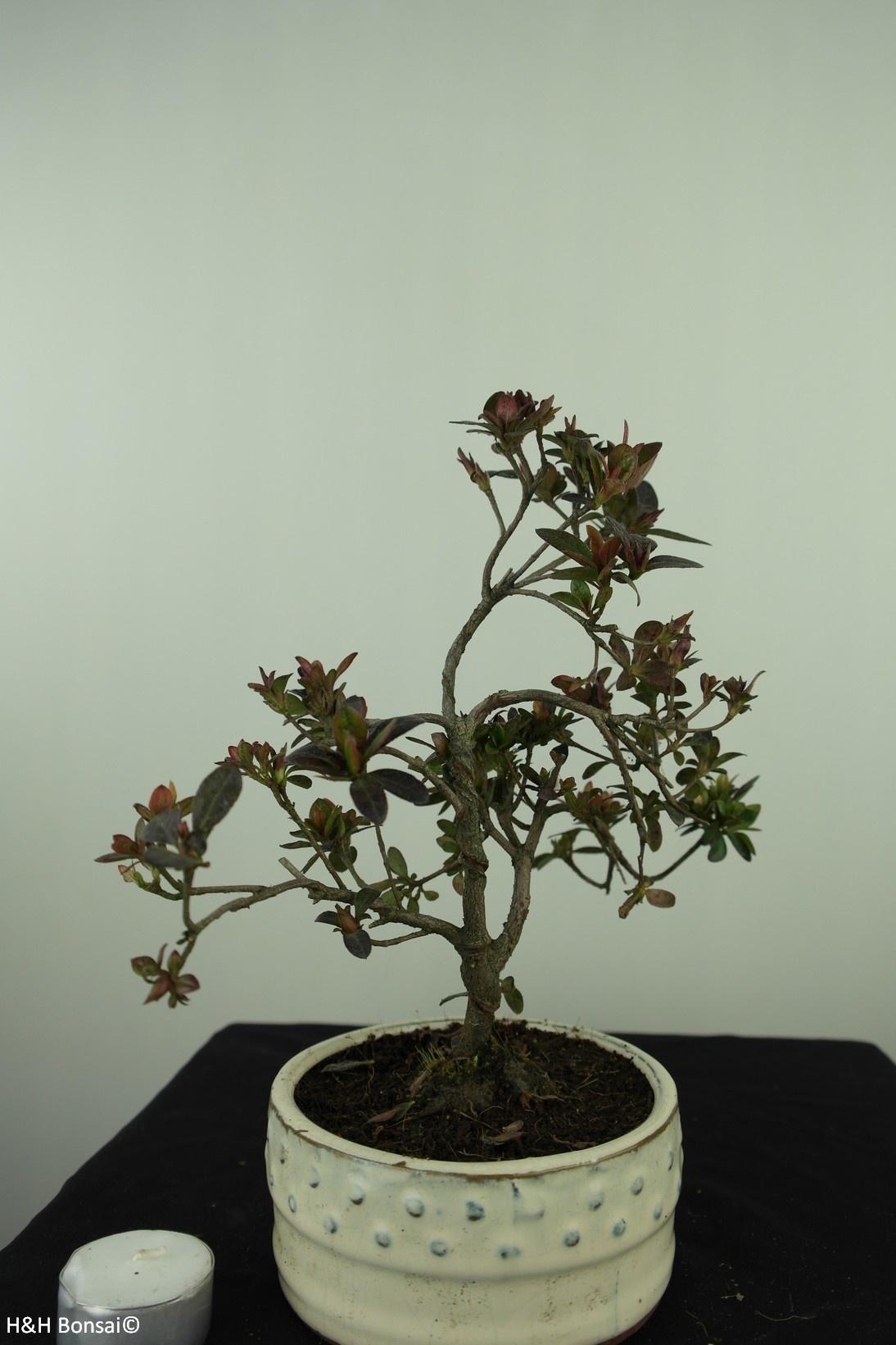 Bonsai Azalée, Azalea Rhododendron indicum, no. 7575