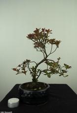 Bonsai Azalea, Rhododendron indicum, nr. 7577