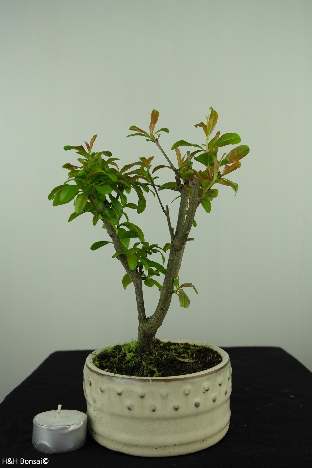 Bonsai Punica granatum, Granaatappel, nr. 7588