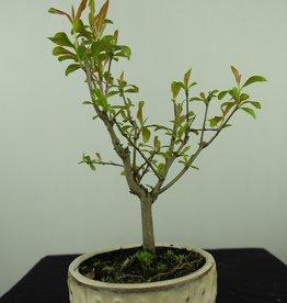 Bonsai Grenadier, Punica granatum, no. 7591