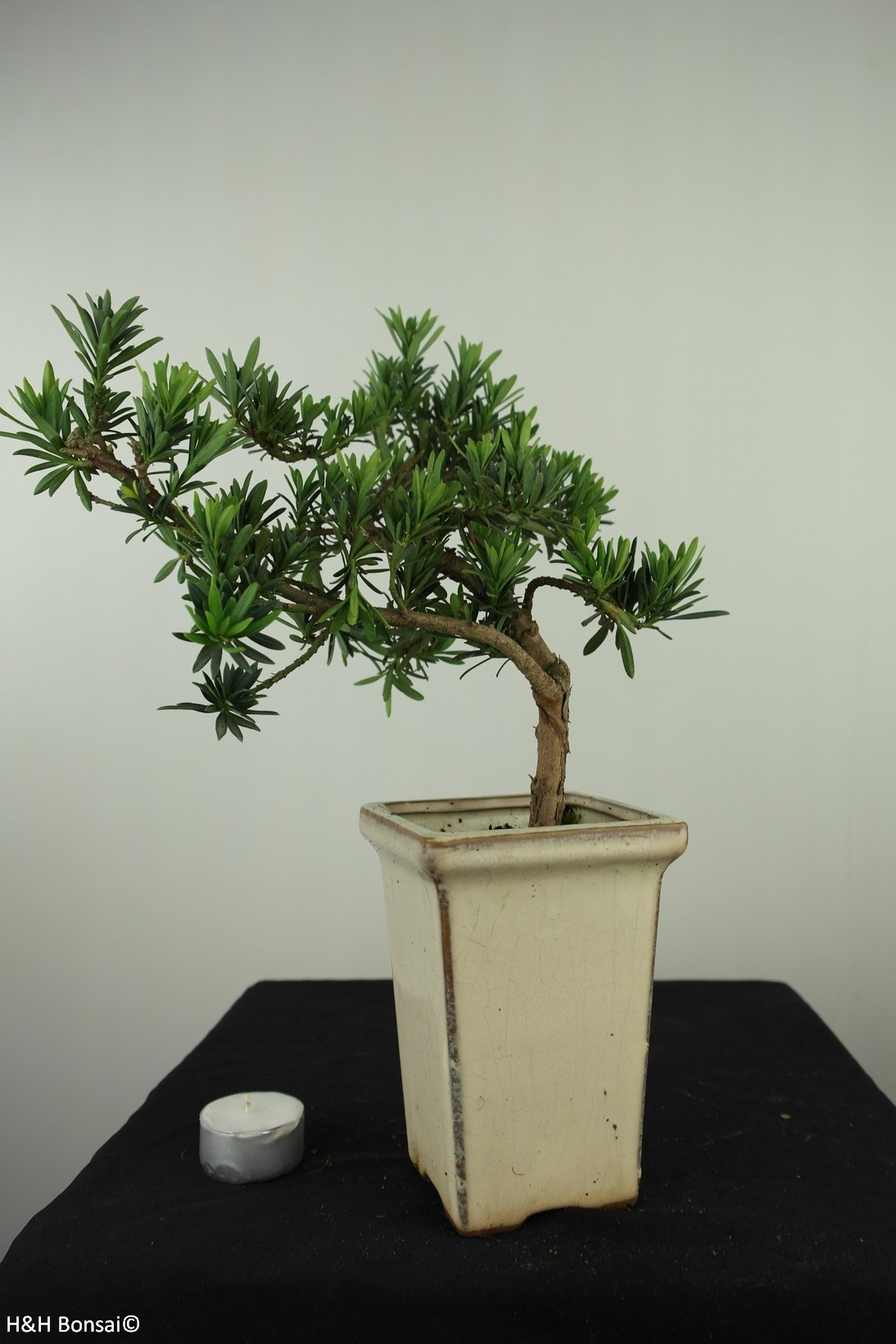 Bonsai Podocarpus, Japanse boeddha den, nr. 7595