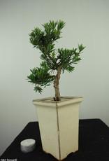 Bonsai Podocarpus, Japanse boeddha den, nr. 7596
