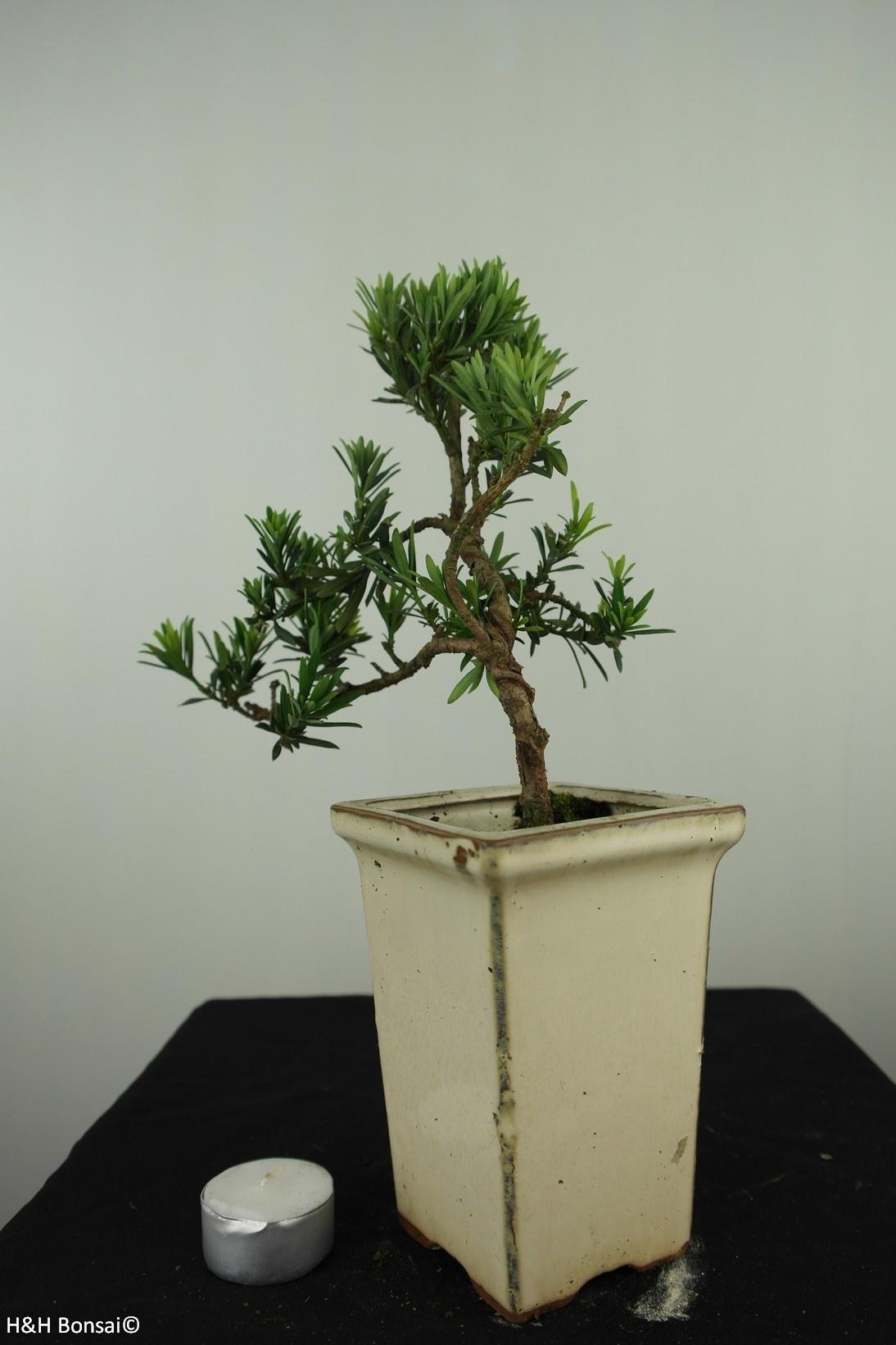 Bonsai Podocarpus, Japanse boeddha den, nr. 7598