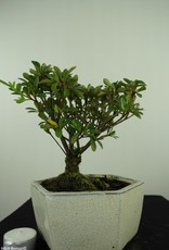 Bonsai Azalée, Azalea Rhododendron indicum, no. 7603