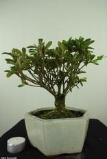 Bonsai Azalea, Rhododendron indicum, nr. 7603