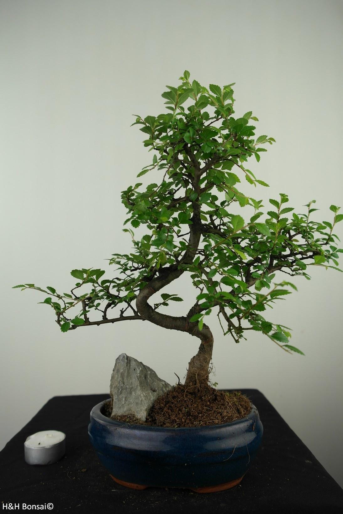 Bonsai Ulmus met rots, Chinese Iep, nr. 7611