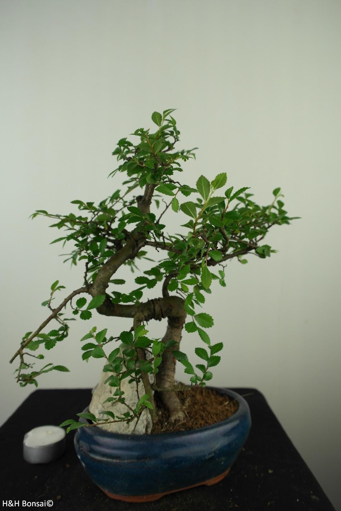 Bonsai Ulmus met rots, Chinese Iep, nr. 7617