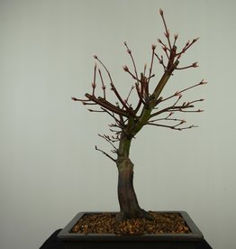 Bonsai Acer palmatum, Japanse esdoorn, nr. 7652