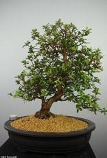 Bonsai Azalée du Japon, Azalea SatsukiKakuo, no. 7661