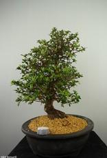 Bonsai Azalea SatsukiKakuo, nr. 7661
