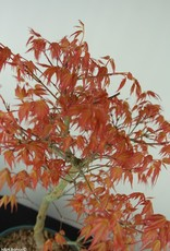 Bonsai Acer palmatum Katsura, Japanse esdoorn, nr. 7672