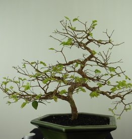 Bonsai Syzygium, no. 7688