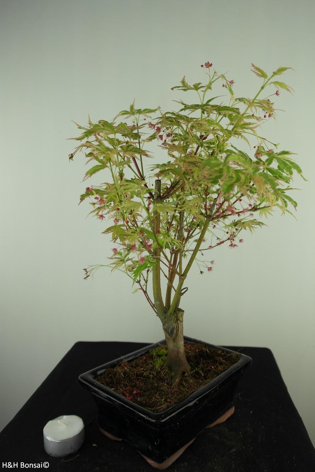 Bonsai Erable du Japon,Acer palmatumBatafurai, Butterfly, no. 7724