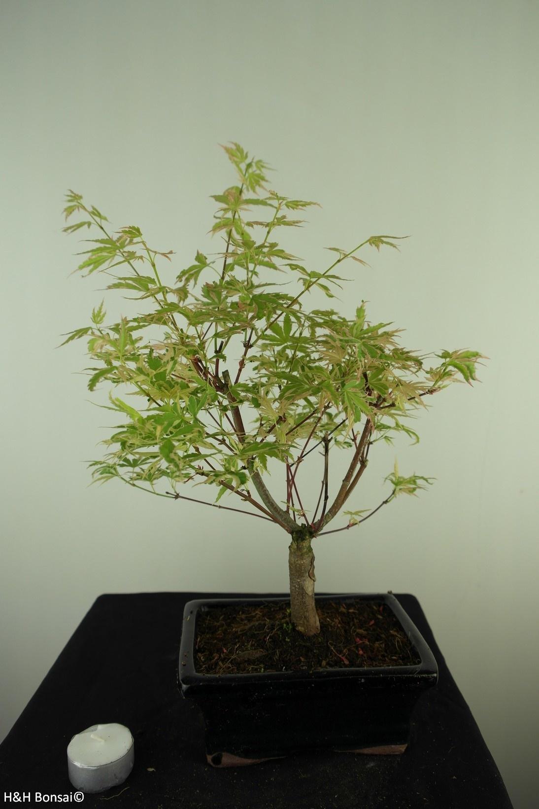 Bonsai Acer palmatum Batafurai, Butterfly, nr. 7725
