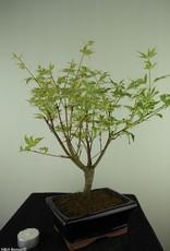 Bonsai Acer palmatum Batafurai, Butterfly, nr. 7726