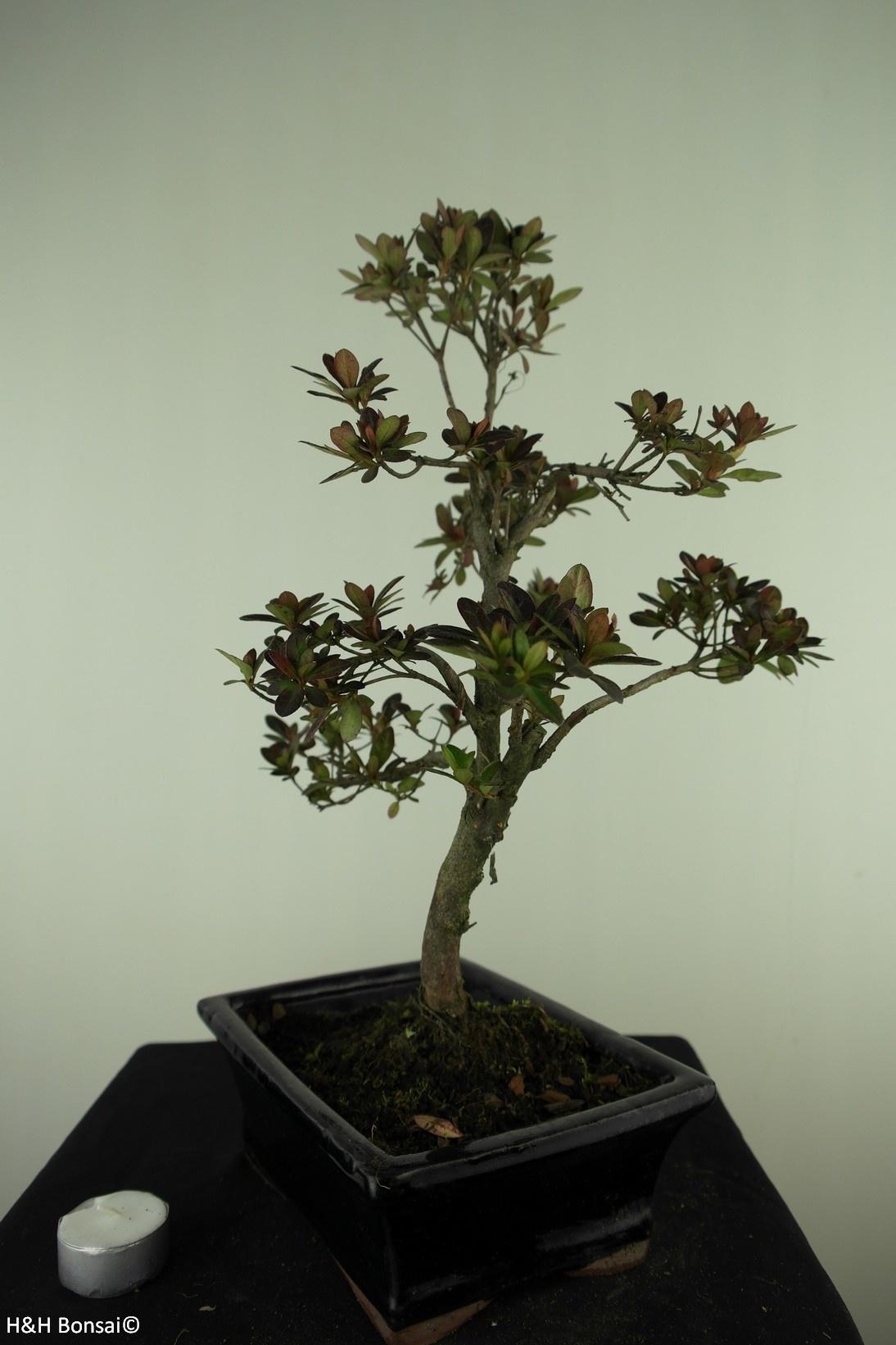Bonsai Azalea, Rhododendron indicum, nr. 7730