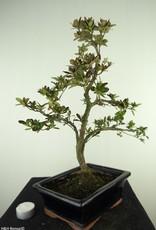 Bonsai Azalée, Azalea Rhododendron indicum, no. 7731