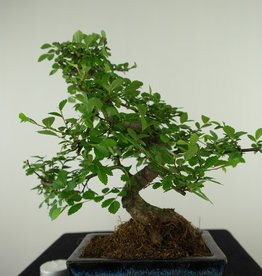 Bonsai Orme de Chine, Ulmus, no. 7737