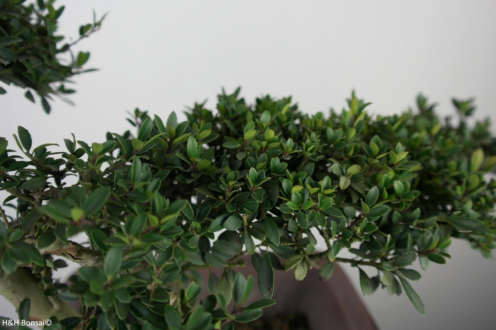 Bonsai Houx japonais, Ilexcrenata, no. 7746