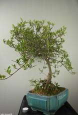 Bonsai Gardenia, Kaapse jasmijn, nr. 7749