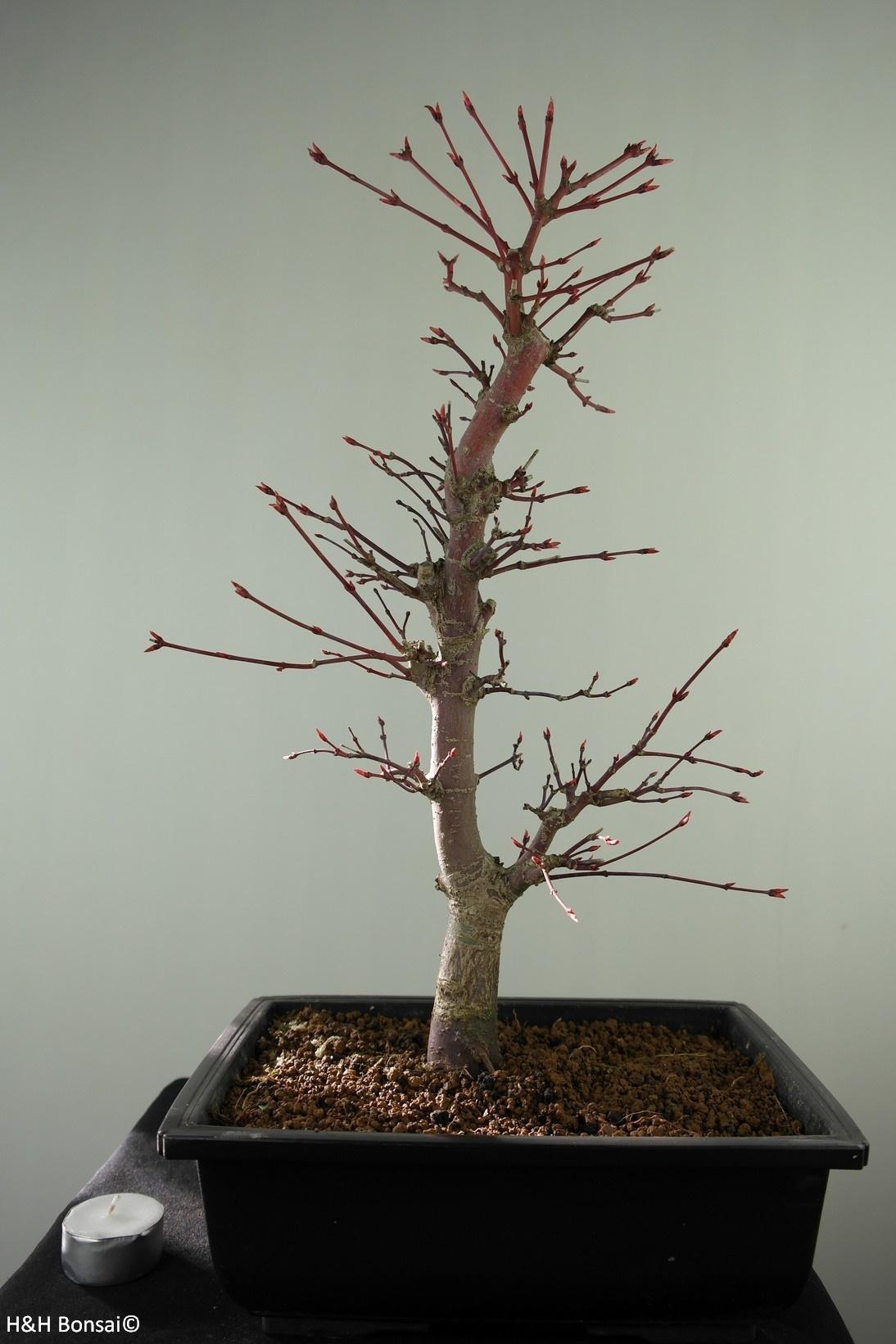 Bonsai Acer palmatum deshojo, Japanse esdoorn, nr. 7753