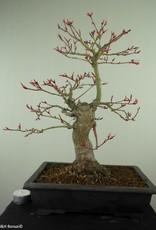 Bonsai Acer palmatum, Japanse esdoorn, nr. 7766