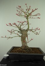 Bonsai Erable du Japon, Acer palmatum, no. 7766