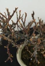 Bonsai Shohin Cotoneaster, Dwergmispel, nr. 7771