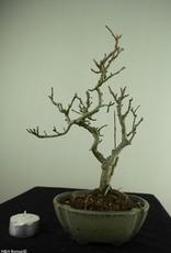 Bonsai Shohin Ilex serrata, Japanse winterbes, nr. 7789