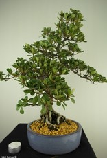 Bonsai Azalée du Japon, Azalea Satsuki Kunpu, no. 7800