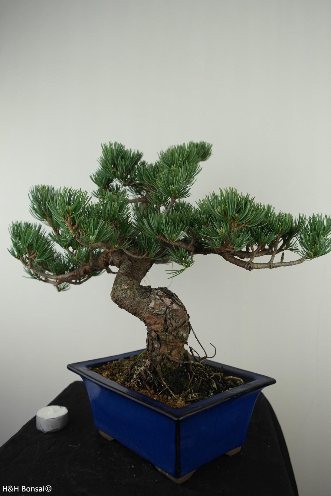 Bonsai Pin blanc du Japon, Pinus pentaphylla, no. 7802A