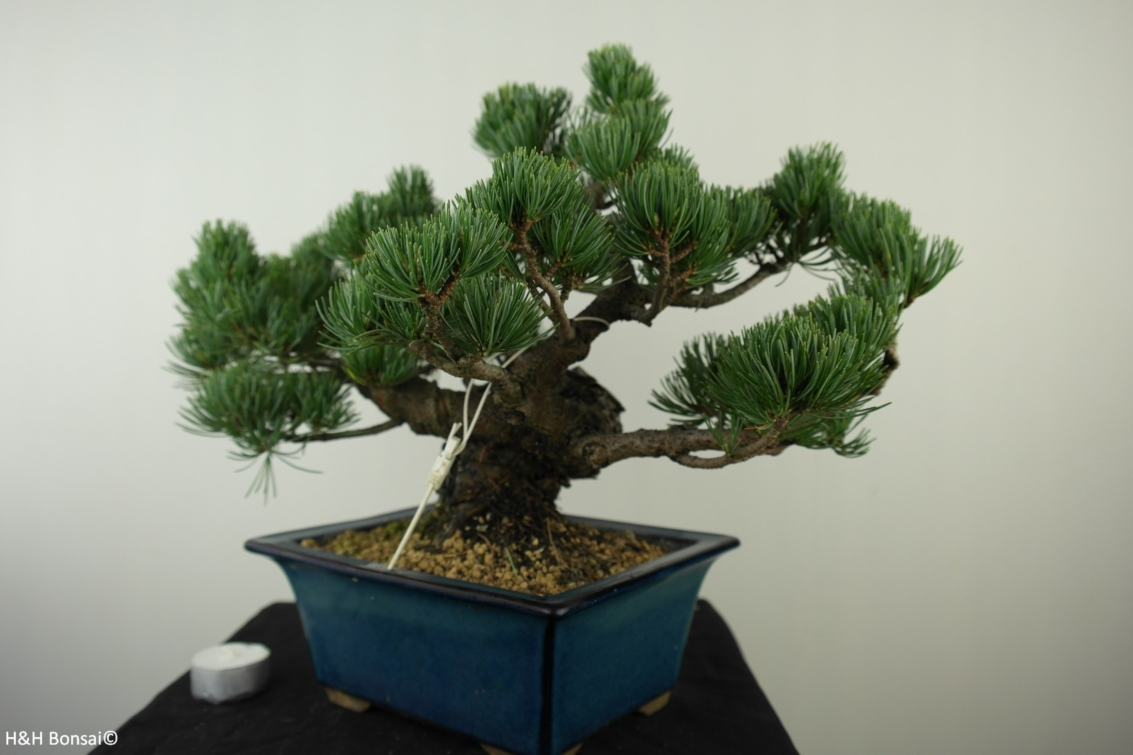 Bonsai Pin blanc du Japon, Pinus pentaphylla, no. 7804