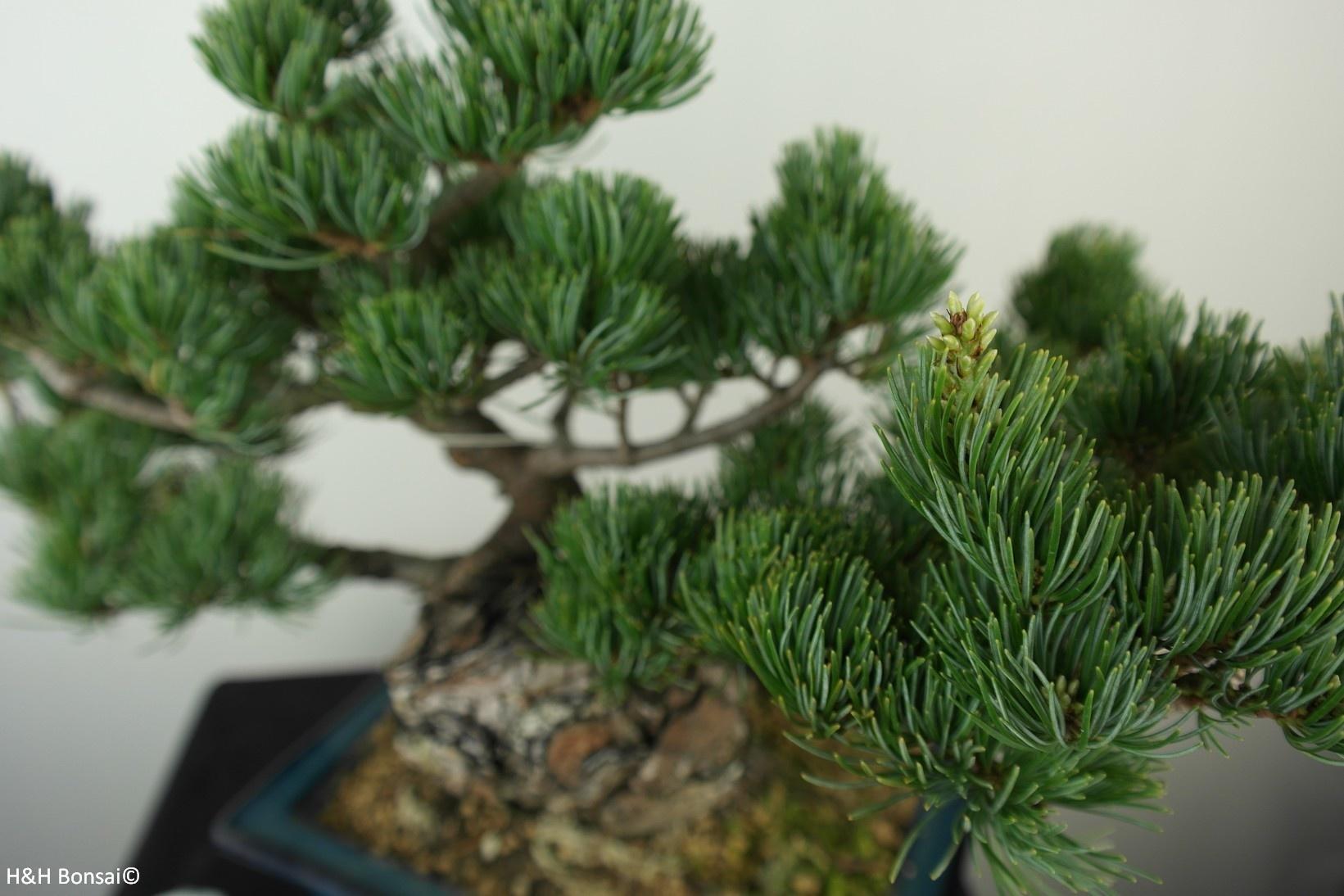 Bonsai Pinus pentaphylla, Japanse witte den, nr. 7804