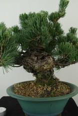 Bonsai Pin blanc du Japon, Pinus pentaphylla, no. 7805