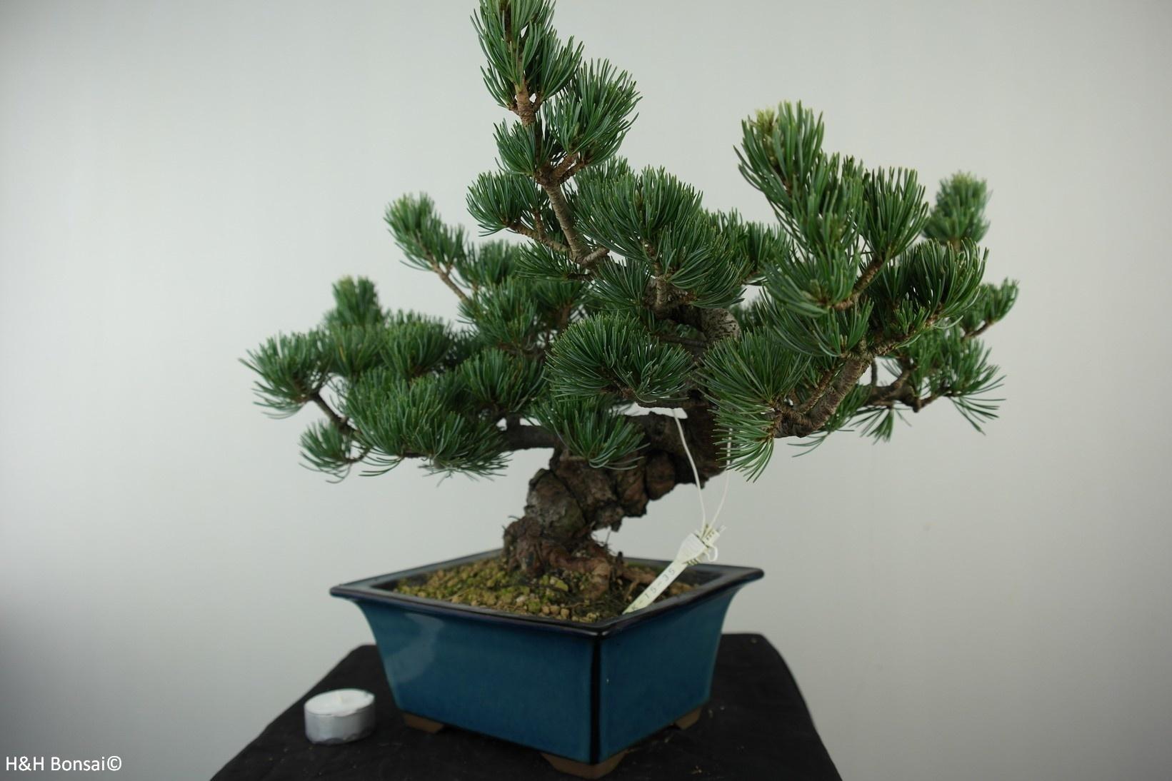 Bonsai Pinus pentaphylla, Japanse witte den, nr. 7807