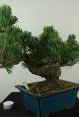 Bonsai Pin blanc du Japon, Pinus pentaphylla, no. 7807