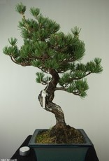 Bonsai Pin blanc du Japon, Pinus pentaphylla, no. 7809