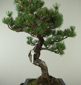 Bonsai Pin blanc du Japon, Pinus pentaphylla, no. 7809