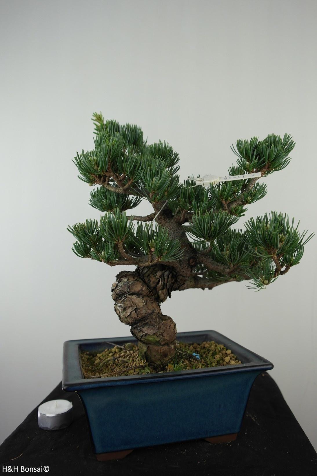 Bonsai Pin blanc du Japon, Pinus pentaphylla, no. 7811