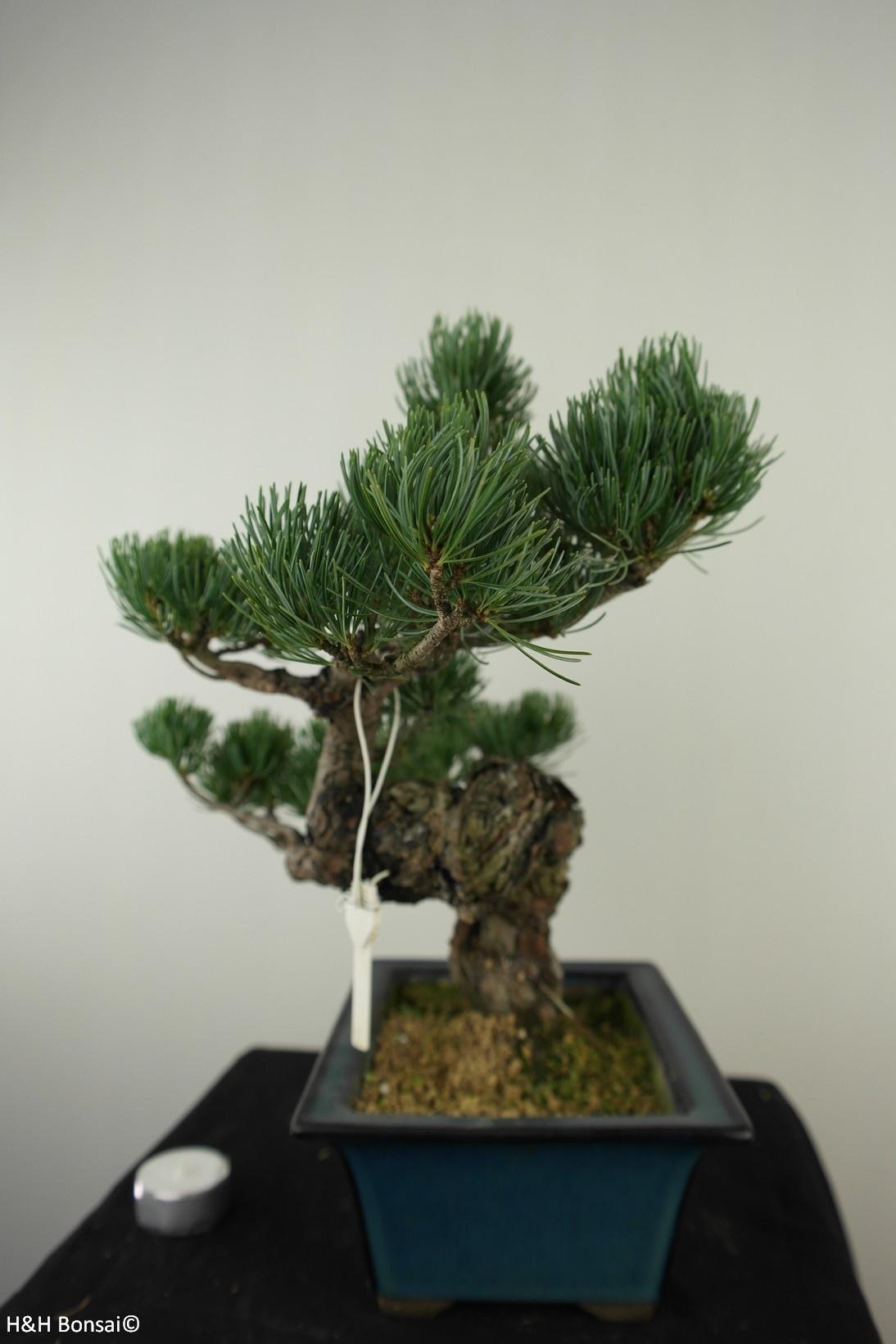 Bonsai Pin blanc du Japon, Pinus pentaphylla, no. 7812
