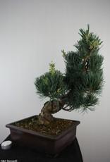 Bonsai Pin blanc du Japon, Pinus pentaphylla, no. 7813