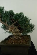 Bonsai Pinus pentaphylla, Japanse witte den, nr. 7814