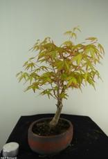 Bonsai Acer palmatum Orange Dream, nr. 7383