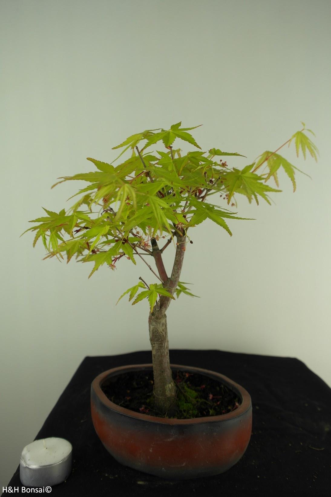 Bonsai Acer palmatum Orange Dream, nr. 7388