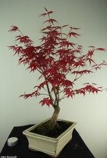Bonsai Acer palmatum deshojo, Japanse esdoorn, nr. 7423